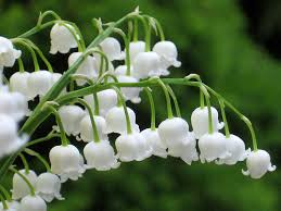 Lily of the Valley May's Birth Flower